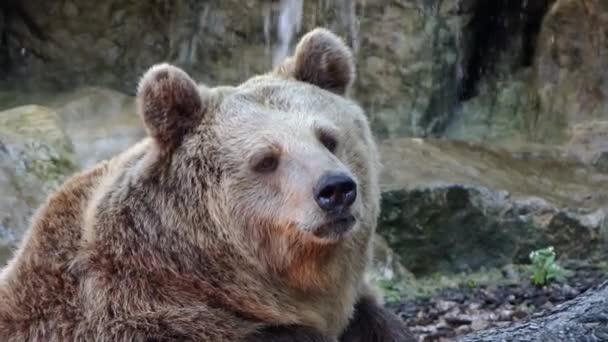 medvěd hnědý portrét