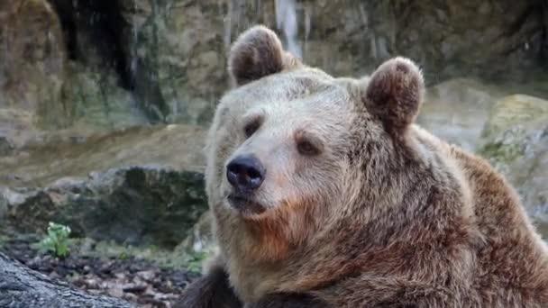 Brown bear portrait