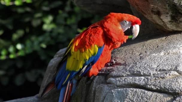 červený papoušek