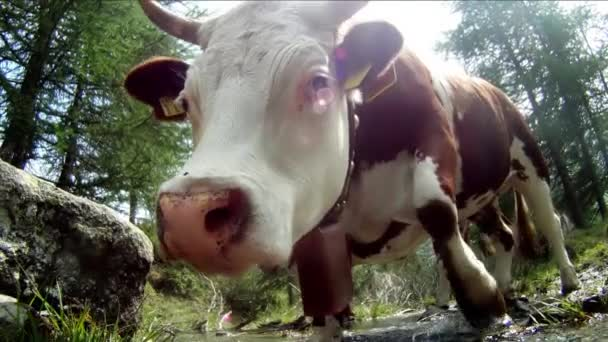 Portrait of cow, extreme close up