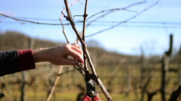 szőlő metszés