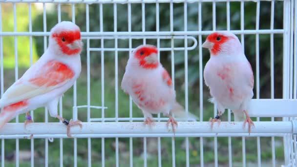 Kanári madarak