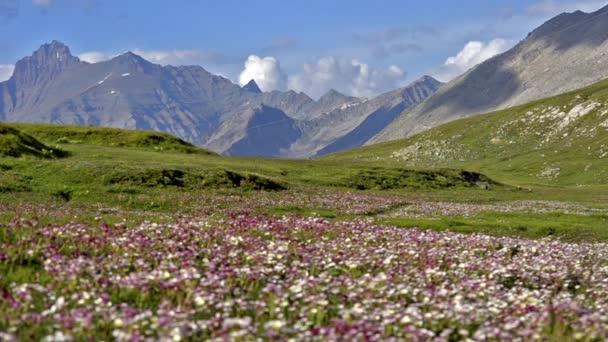 kvetoucí louka v Alpách