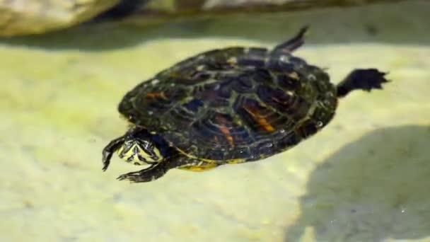 szép teknős