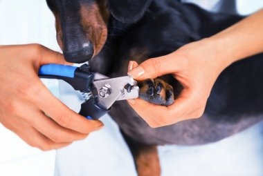 Veterinarian is trimming dog nails