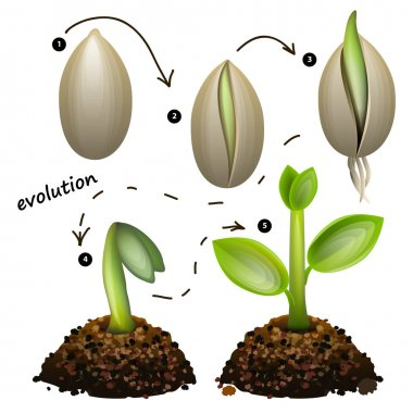 Stages of plant growth.