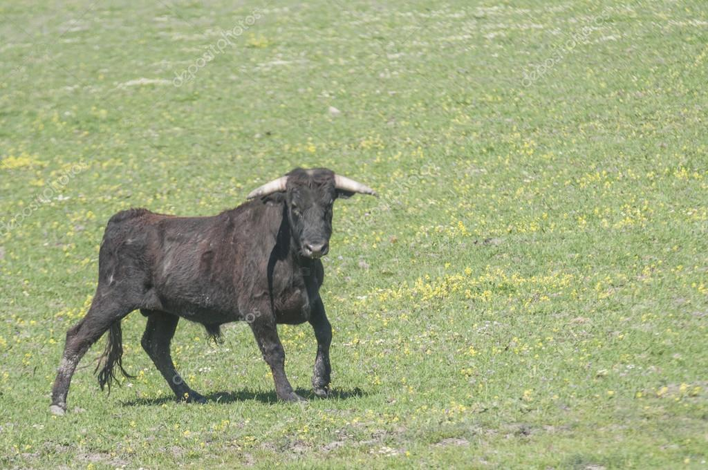 fighting bull series 01