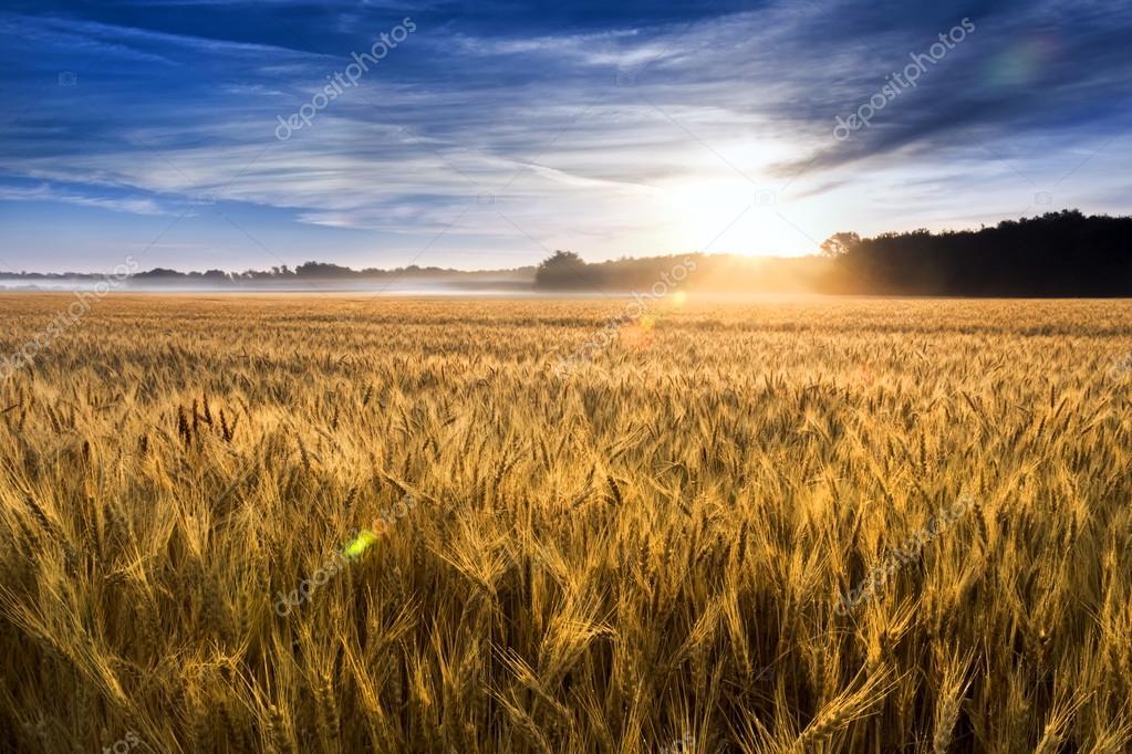 Misty Sunrise Over A Kansas Golden Wheat Field Ready For Harvest