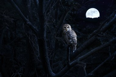 Barred Owl Sits Quietly Illuminated By Bright Full Moonrise