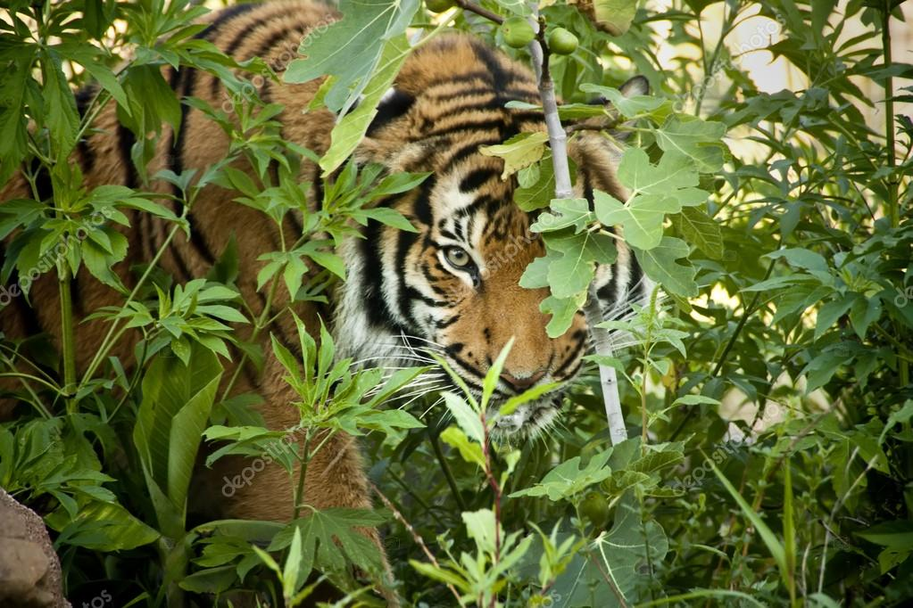 Stalking Malayan Tiger Peers Through The Branches Stock