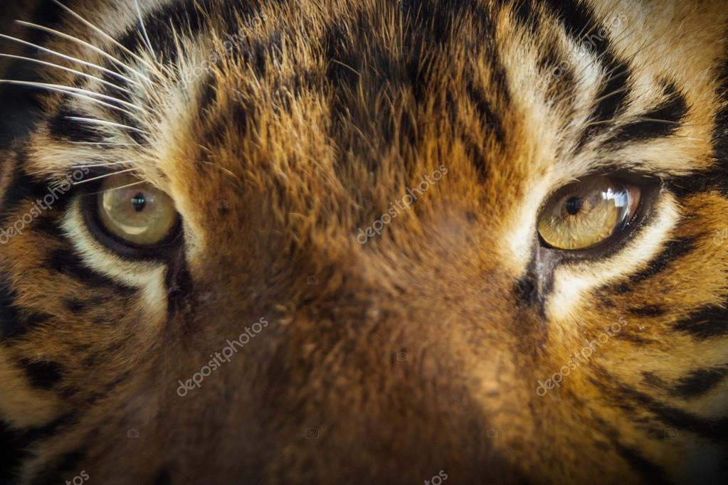 Face To Face With Powerful Malayan Tiger