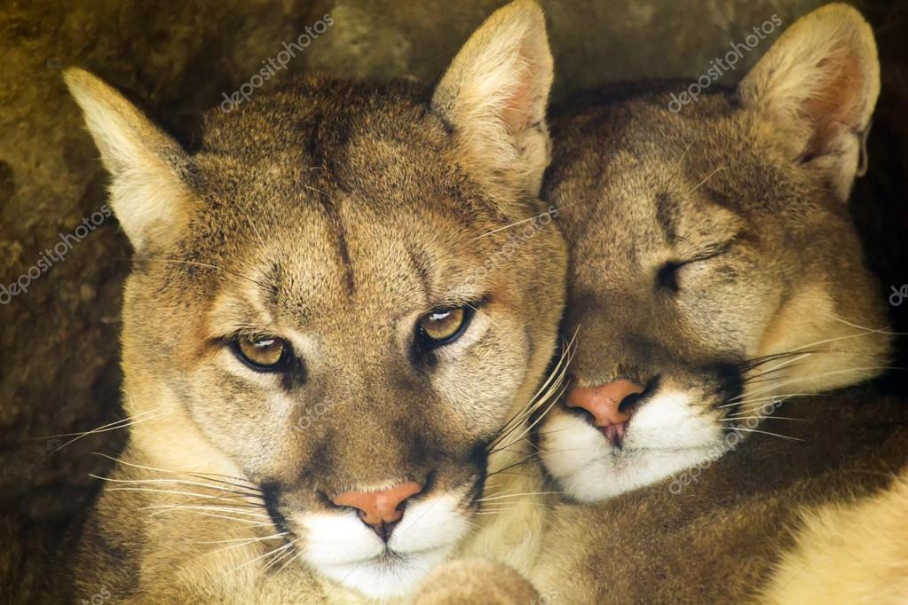 Mountain Lion Affectionate Pair Sleep Together in Cave Shadow