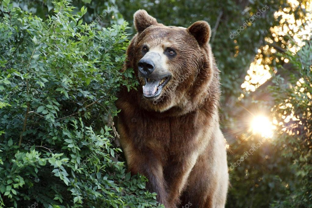 Large Grizzly Bear with setting Sun and Heavy Foilage