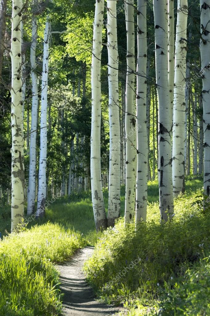 Hiking trail through Aspen Tree