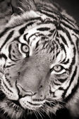 Black and white toned photo of a Malayan Tiger