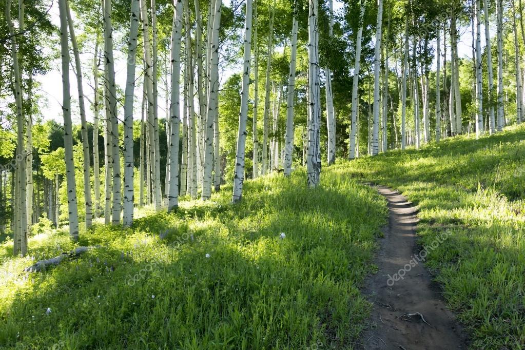 Summer hiking trail through Aspen Tree grove