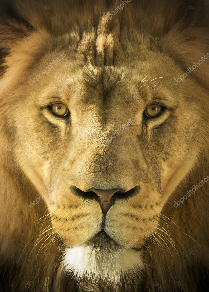 Close Up Portrait Of A Majestic Lion King of Beasts