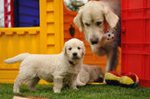 Golden retriever puppy with his mother and toys