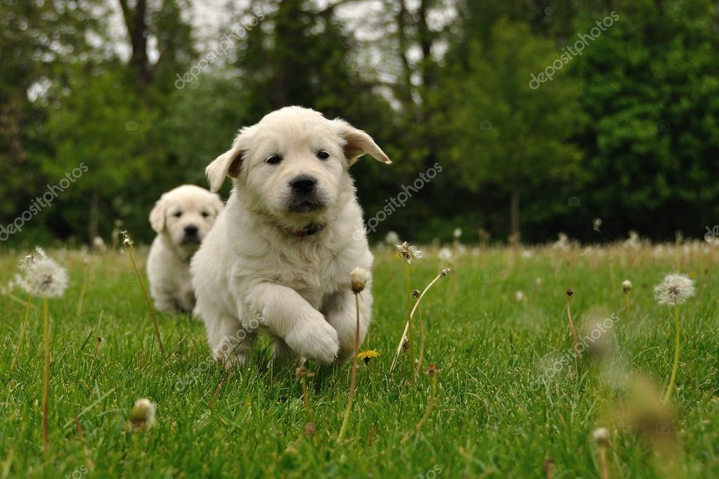 Golden Retriever Puppy Running Outdoor Stock Photo C Duben 35215231