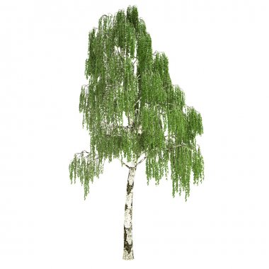 Tall Russian Birch Tree Isolated