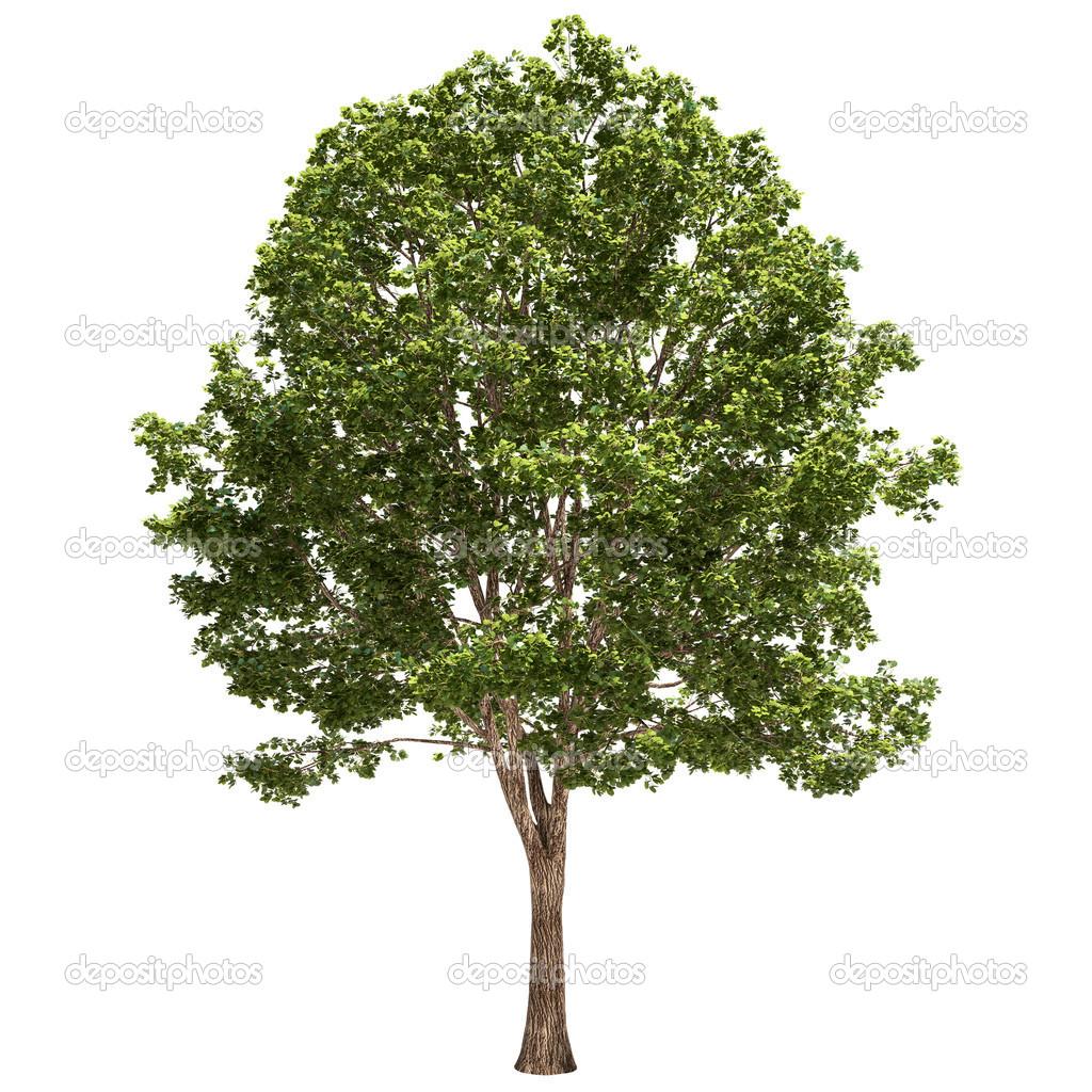 drzewo lipa na bia�ym tle � zdjęcie stockowe 169 hypnotype