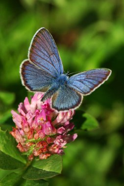 Blue butterfly on the red clover flower
