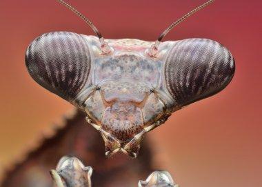 Mantis Pseudempusa Pinnapavonis macro