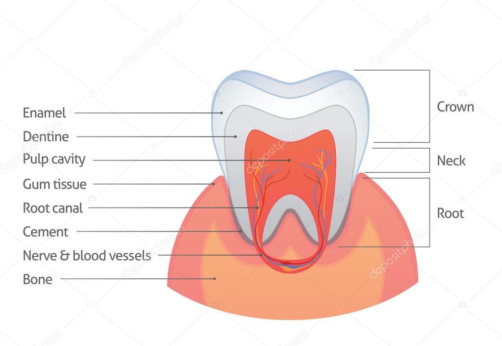 Zahn-Anatomie — Stockvektor © jpgon #35360321
