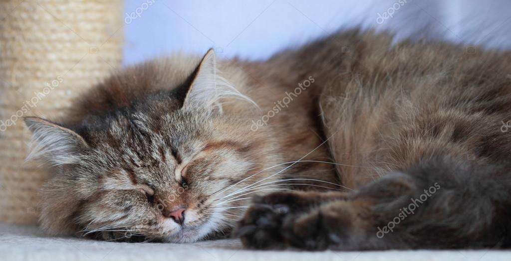 Kobieta Kot Syberyjski Tricolor Zdjęcie Stockowe Endomass 31951827