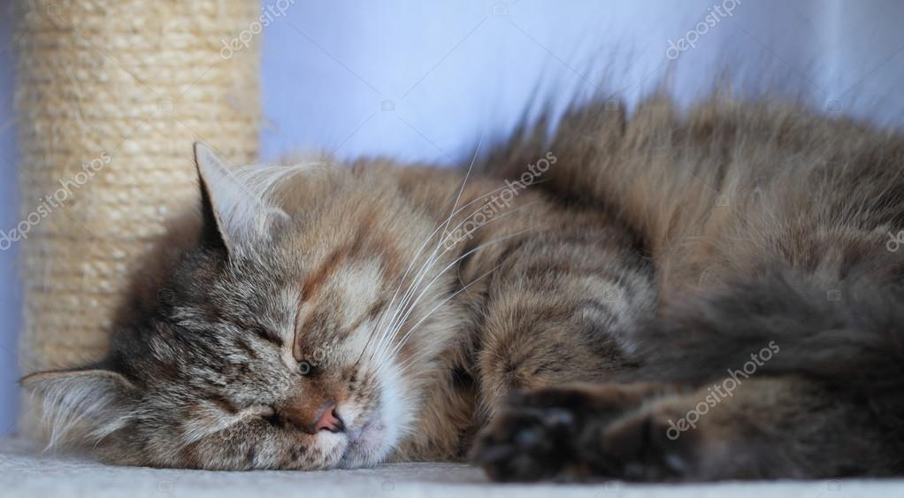 Kobieta Kot Syberyjski Tricolor Zdjęcie Stockowe Endomass 31953673
