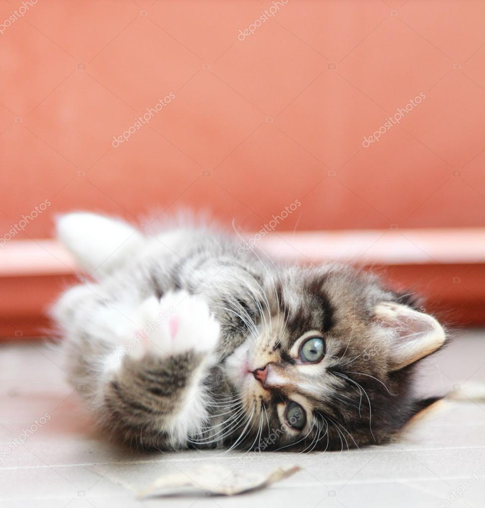 Marrone cucciolo di gatto siberiano a due mesi \u2014 Foto Stock