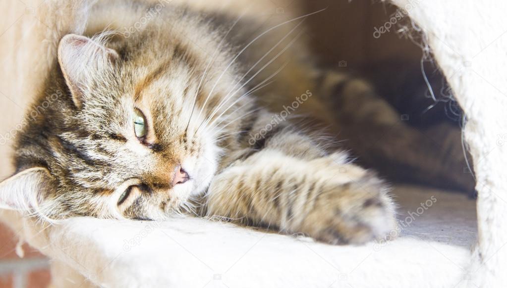 Brązowy Kot Rasy Syberyjskiej Tricolor Kobiet Zdjęcie Stockowe