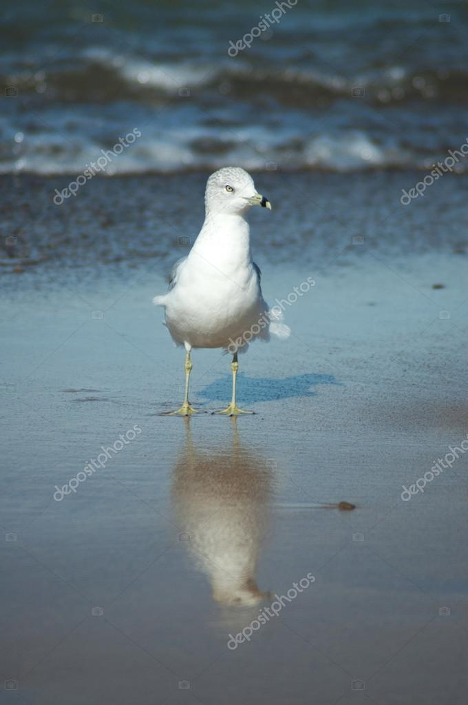 Sea gull reflection