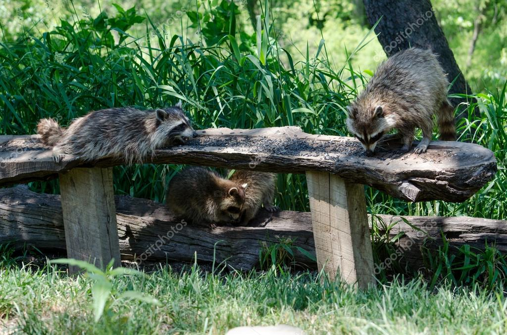 Raccoon smorgasbord