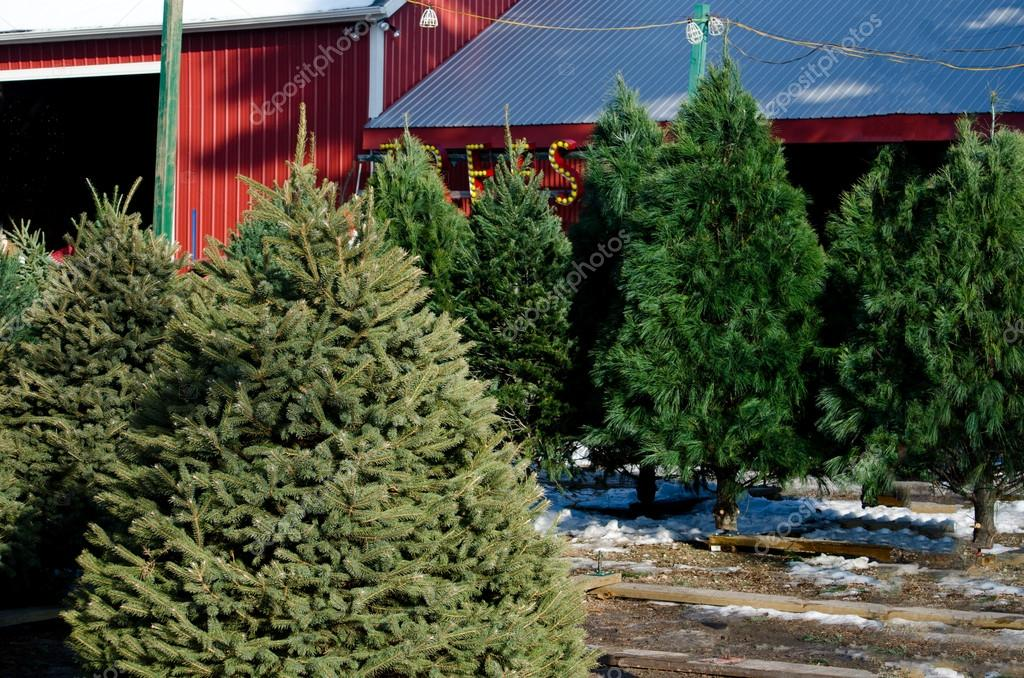 Trees for sale at a Christmas tree farm