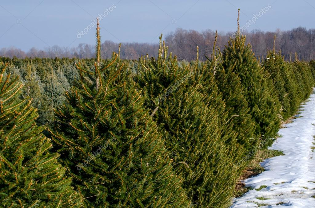 Rows of evergreens at a Michigan Christmas tree farm