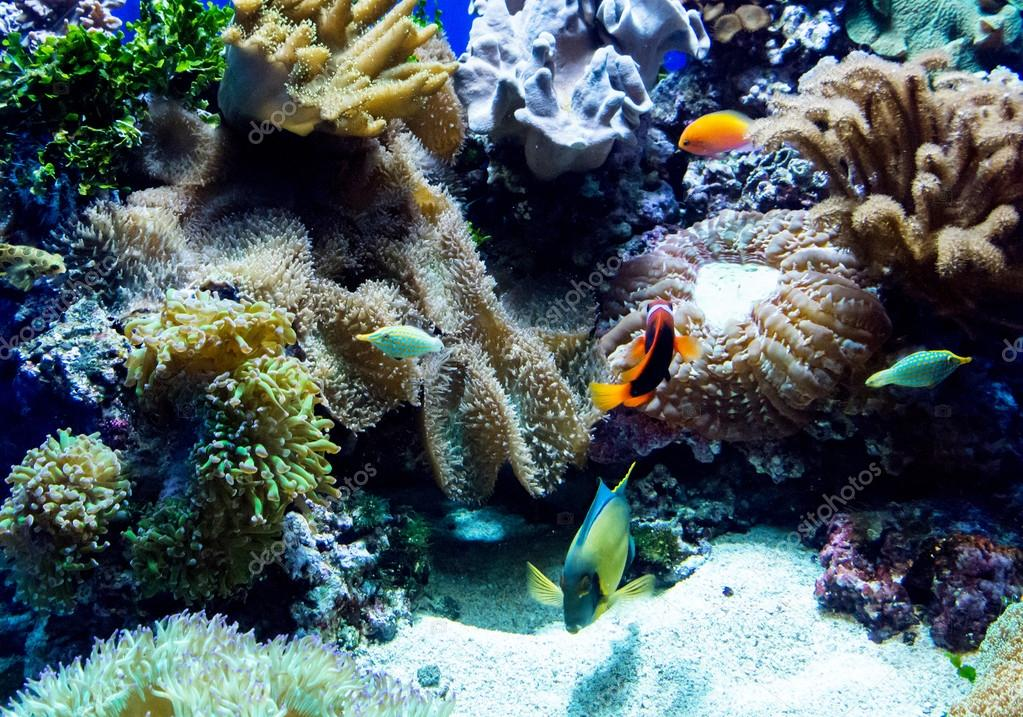 Fish, coral and condylactis