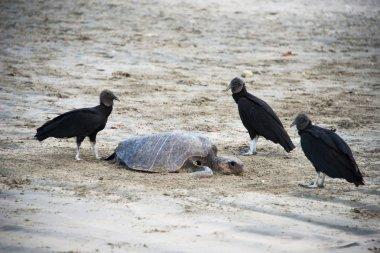 Black vultures eat turtle