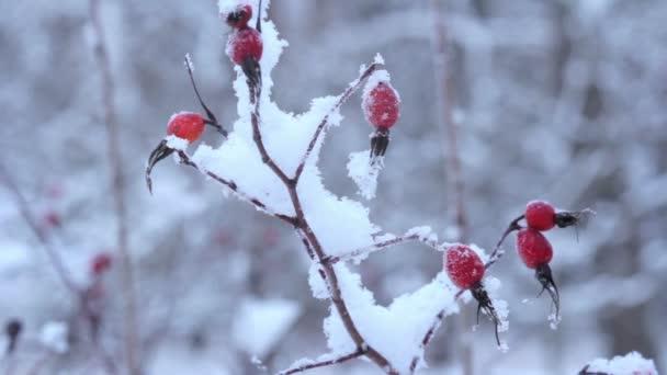 zmrazené bobule pod sněhem. St. petersburg. Rusko