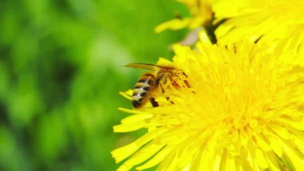 včela na žluté květiny makro letní tepla makra