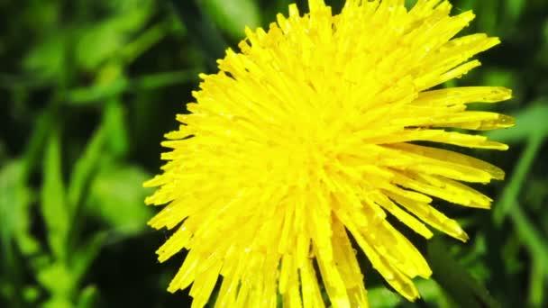草原のタンポポの花