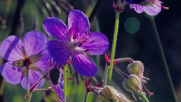 modré květy v Rosa
