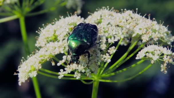 große Käfer auf Blüte