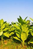 Fotografia pianta di tabacco nel campo