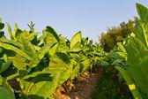 Fotografia pianta di tabacco nella farm