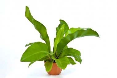 Birds nest fern