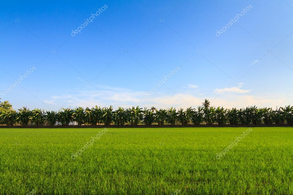Rows of banana trees next to the rice field