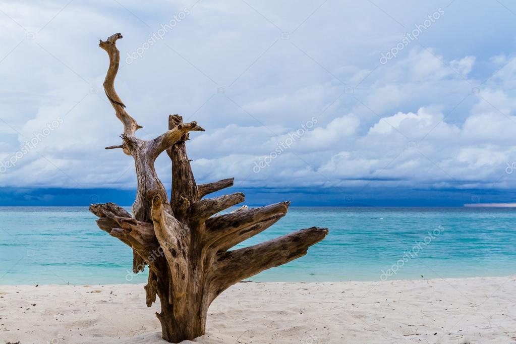 Root die tree on the beach