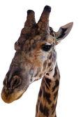 detail žirafa na bílém pozadí