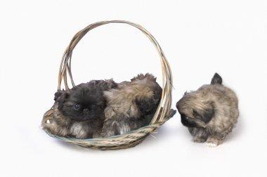 Pekingese Puppies In Basket